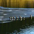 写真: 浮冰上的鴨子