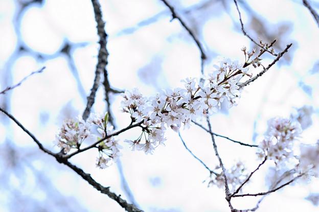 牛代の水目桜