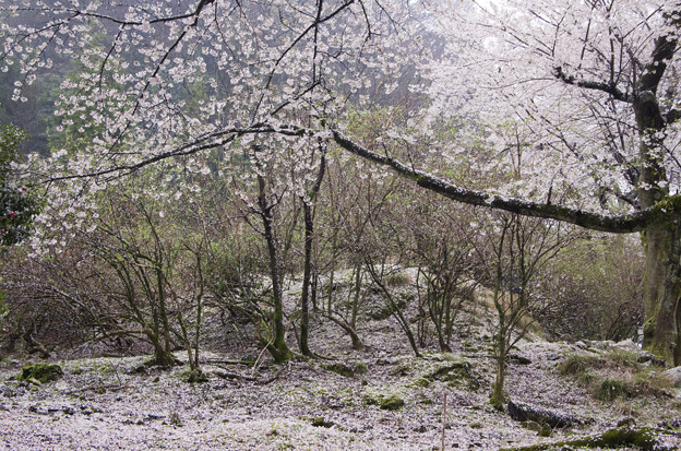 写真: 桜 夢幻