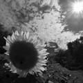 暑っ! 太陽に背を向けた向日葵