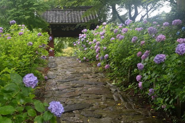 本光寺紫陽花_4