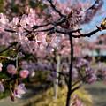 南知多の河津桜II_4