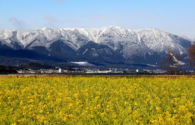 Photos: 早咲き菜の花と比良山