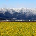 写真: 早咲き菜の花と比良山