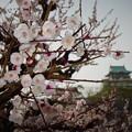写真: 大阪城梅