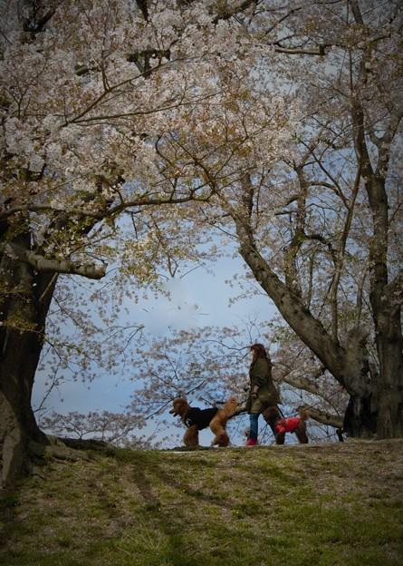 背割堤の春