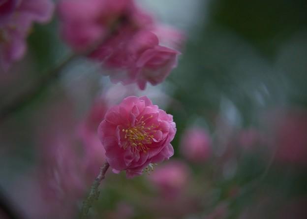 Photos: 八重の梅