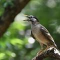 写真: ムクドリ幼鳥