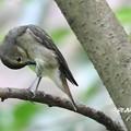 写真: キビタキ幼鳥1