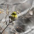 写真: 春を待つメジロ