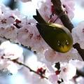 写真: 杏メジロ
