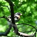 写真: 黒光りアトリ
