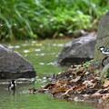 写真: シジュウカラの入浴