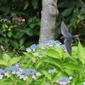 紫陽花と燕