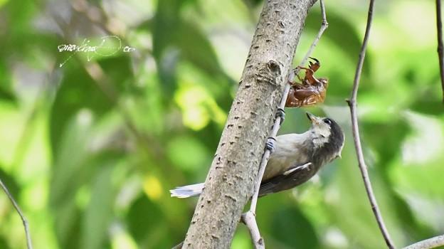 ヤマガラの幼鳥と空蝉