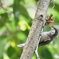 写真: ヤマガラの幼鳥と空蝉