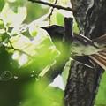 写真: サンコウチョウ