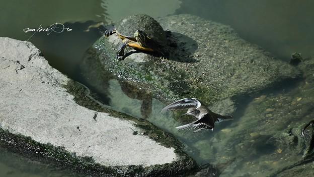 亀とイソシギ