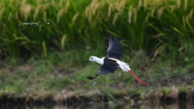 セイタカシギ飛翔