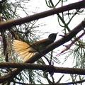 尾羽が良く開くサンコウチョウ
