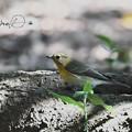 Photos: ムギマキ幼鳥