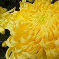 Photos: 笑ってるような菊