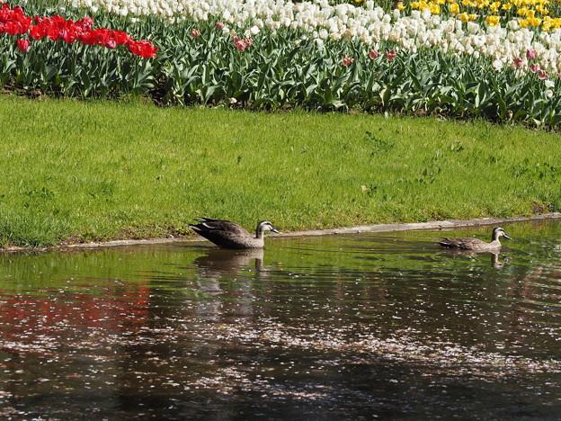 写真: 鴨さんお散歩