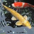 写真: Gold&Red