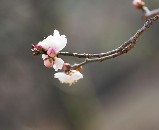 Photos: 春つぼみ