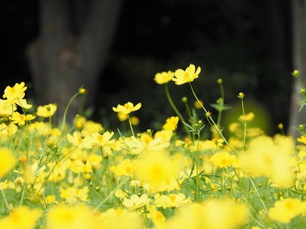 Photos: レモンイエローの輝き