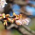 Photos: 寒に咲く