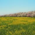 Photos: 桜堤をのんびりと