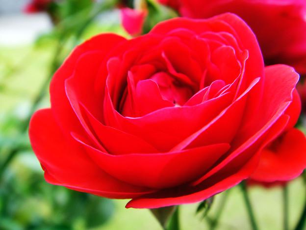 真赤な薔薇