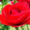写真: 真赤な薔薇