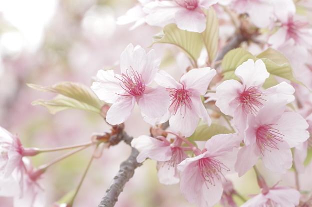 桜、翅伸ばして。