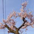 桜の交差点(CI:雅)