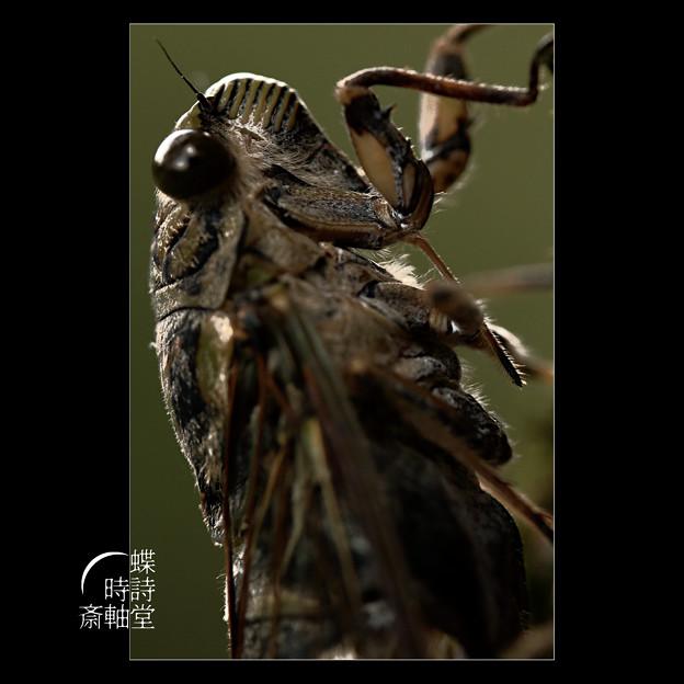 蝉という生き方
