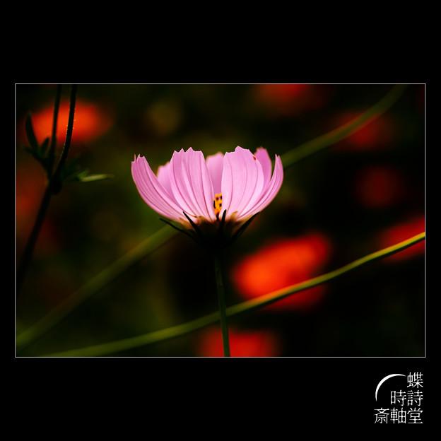 Photos: 秋桜灯