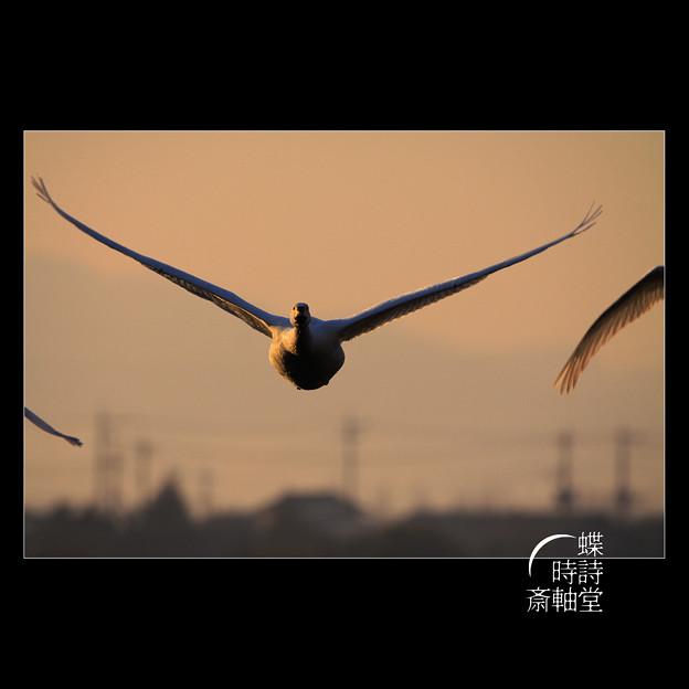 Photos: 朝の飛翔