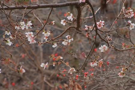 842 塙山のハナミズキと冬桜
